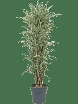 Dracaena deremensis 'Warneckei' Ramifié-multi 30/27 175 - Plante