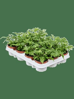 Dryopteris erythrosora 12/tray