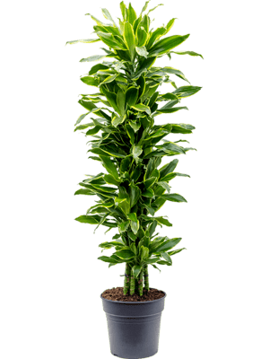 Dracaena fragrans 'Golden Coast' Verzweigt-multi 31/27 150 - Pflanze