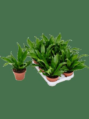Dracaena green jewel 8/tray