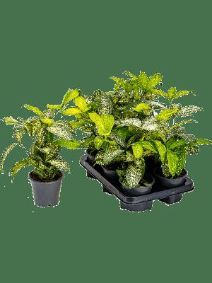 Dracaena godsefiana 6/tray