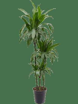 Dracaena fragrans 'Janet Craig' 90-60-30 24/23 135 - Plante