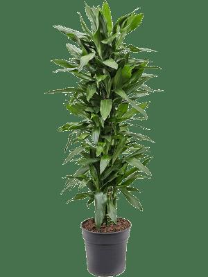 Dracaena fragrans 'Janet Lind' Ramifié-multi 30/27 150 - Plante