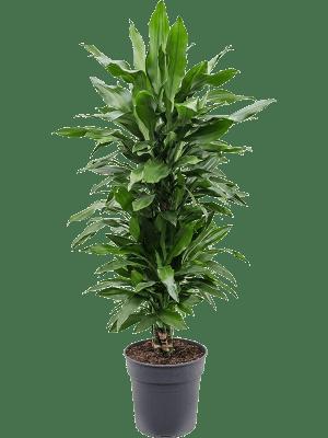 Dracaena fragrans 'Janet Lind' Ramifié-multi 27/26 110 - Plante
