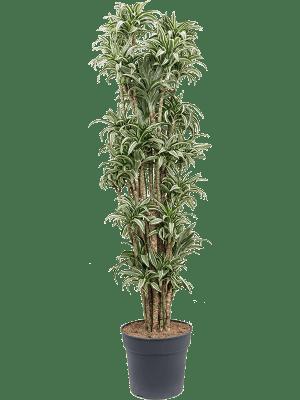 Dracaena kanzi