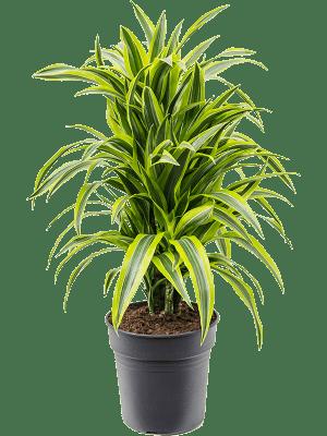 Dracaena fragrans 'Lemon Lime' Ramifié-multi 24/23 90 - Plante