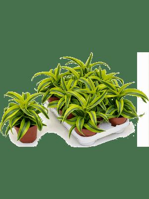 Dracaena lemon surprise 8/tray