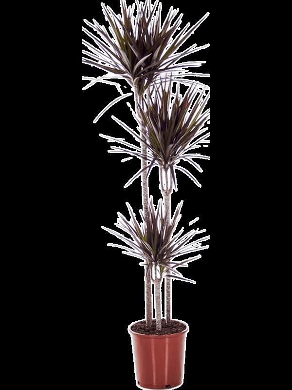 Dracaena marginata 'Magenta' 90-60-30 24/23 160 - Plante - Main image