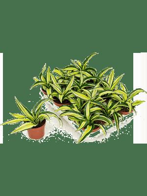 Dracaena malaika 12/tray