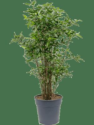 Dracaena surculosa cantik