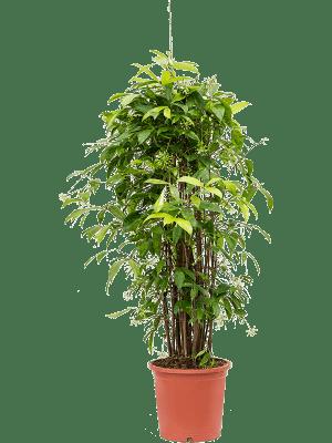 Dracaena surculosa Toef 27/25 140 - Plant
