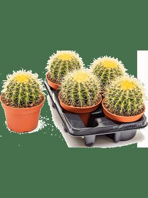 Echinocactus grusonii 4/tray