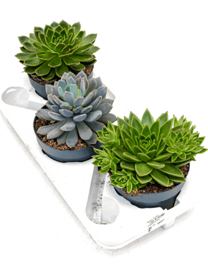 Echeveria mix 3/tray  17/13 20 - Plante