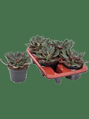 Echeveria nodulosa 4/tray