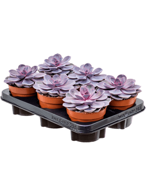 Echeveria 'Purple Pearl' 6/tray  12/9 20 - Plante