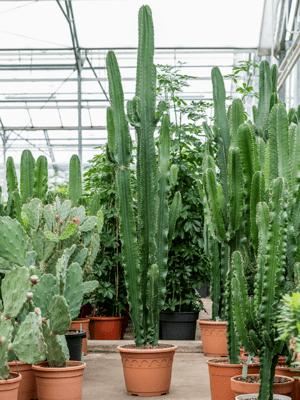 Euphorbia erytrea