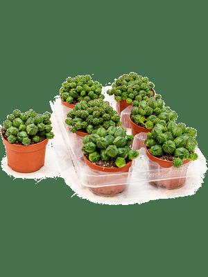 Euphorbia globosa 6/tray