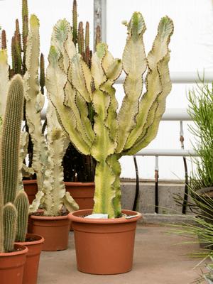 Euphorbia ingens marmorata