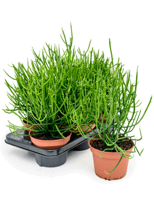 Euphorbia tirucalli 6/tray