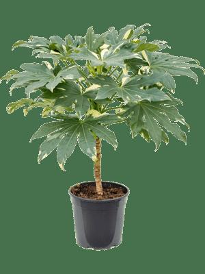 Fatsia japonica variagata