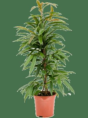 Ficus binnendijkii 'Amstel King' Toef 21/19 90 - Plant
