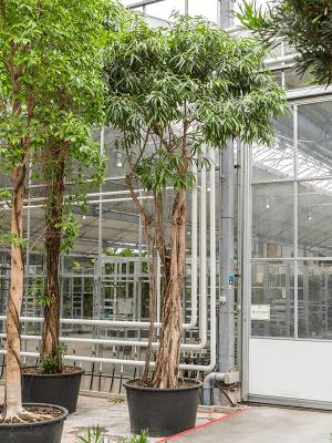Ficus alii (500-575)