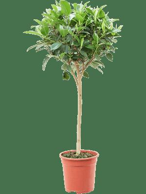 Ficus rubiginosa 'Australis' Tige 24/23 90 - Plante