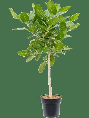 Ficus benghalensis audrey