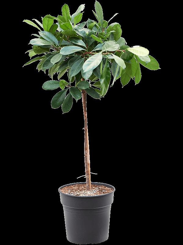 Ficus cyathistipula Stem 30/27 150 - Plant - Main image