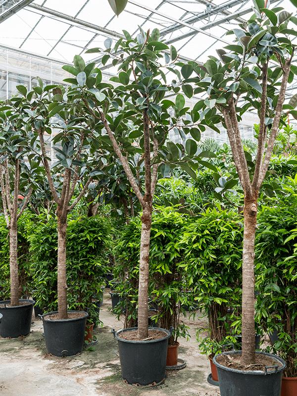 Ficus elastica 'Abidjan' Stam 60/43 350 - Plant - Main image