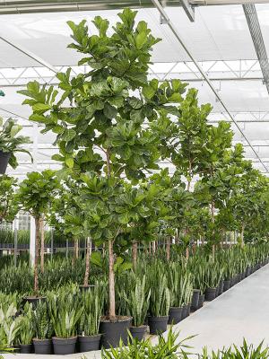 Ficus lyrata (400-450)
