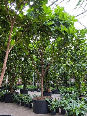Ficus lyrata Tige ramifié 120/68 600 - Plante