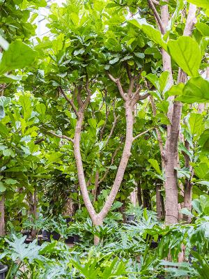 Ficus lyrata Tige ramifié 80/51 475 - Plante