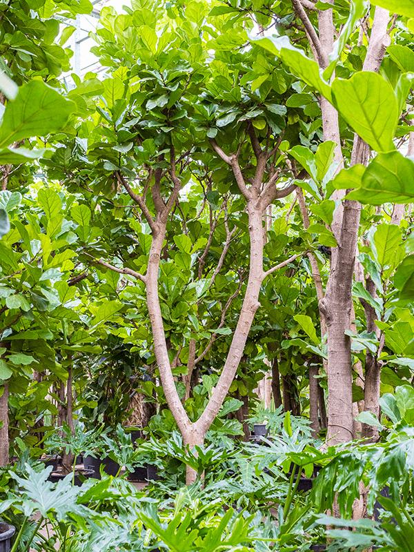 Ficus lyrata Stamm Verzweigt 80/51 475 - Pflanze - Main image