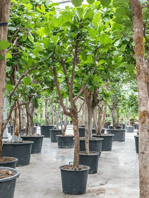 Ficus lyrata Stamm Verzweigt 60/48 425 - Pflanze