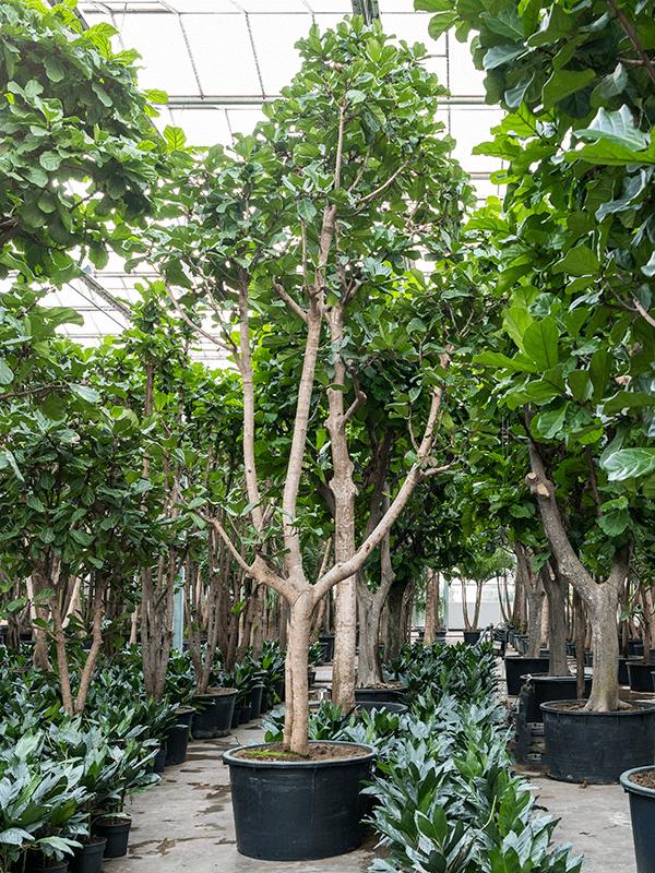 Ficus lyrata Tige ramifié 110/68 700 - Plante - Main image