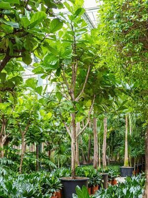 Ficus lyrata Verzweigt 80/51 450 - Pflanze