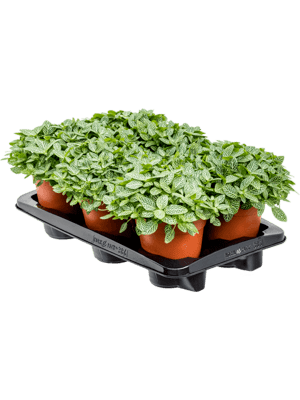 Fittonia ver. mont blanc 6/tray