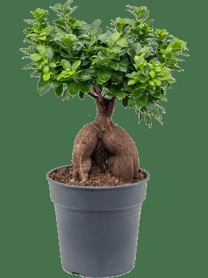 Ficus micr. ginseng