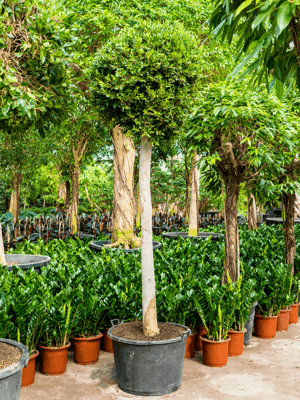 Ficus nitida Stam 80/50 350 - Plant