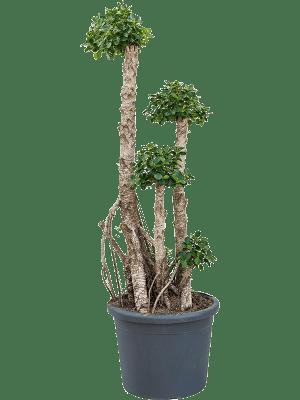 Ficus panda compacta