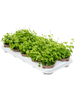 Ficus repens white sunny 12/tray