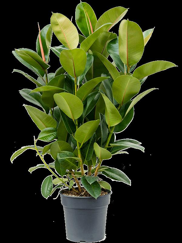 Ficus elastica 'Robusta' Buisson 30/27 75 - Plante - Main image