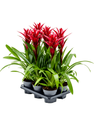 Guzmania switch 6/tray