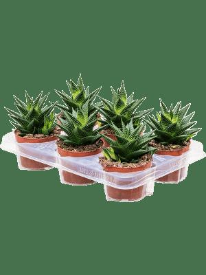 Haworthia limifolia 6/tray