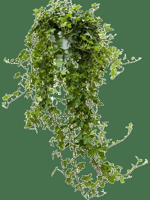 Hedera helix 'Pittsburgh' Hanger groen 17/12 60 - Plant