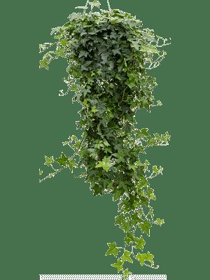 Hedera helix pittsburgh