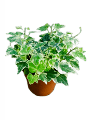 Hedera helix white wonder 18/tray