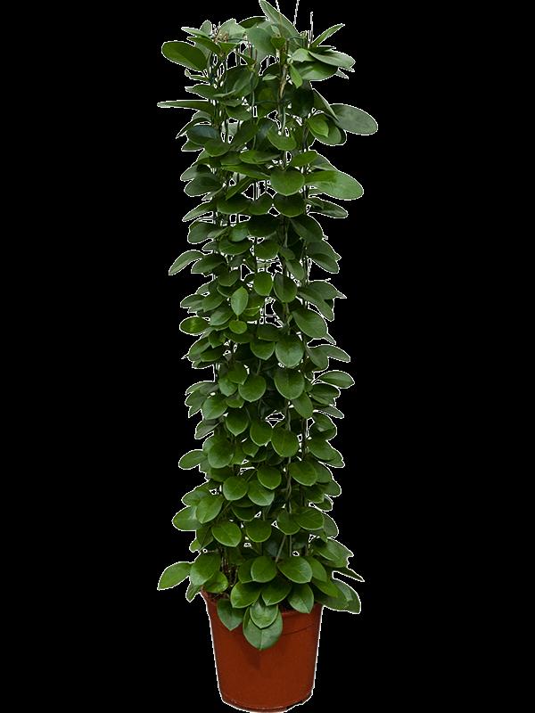 Hoya australis Colonne 24/22 120 - Plante - Main image