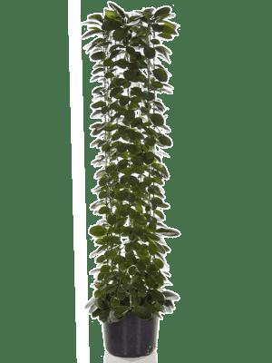 Hoya australis Colonne 27/24 150 - Plante